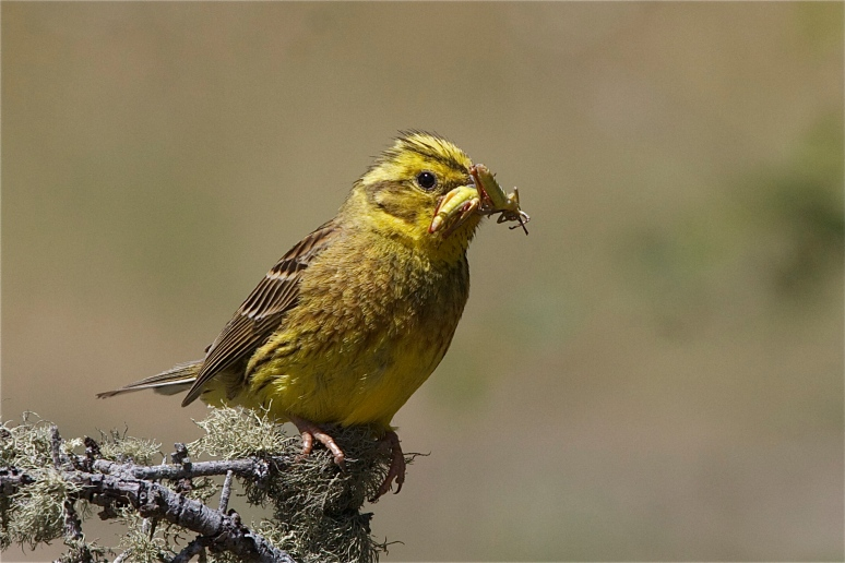 Yellowhammer with breakfast