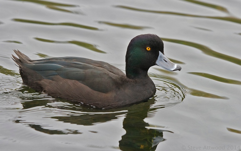 NZ's real life 'rubber ducky' the bouncy, perky papango (NZ scaup)
