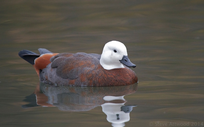 the striking female putangitangi (Paradise shelduck_