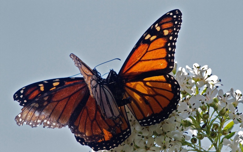 Mating monarchs unnoticed by passers by