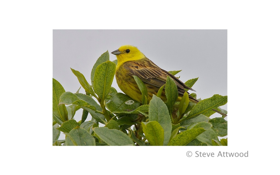 an introduced yellowhammer sings from a native ngaio tree