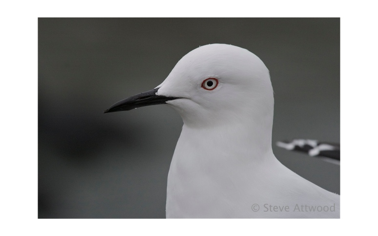 the black-billed gull rests at The Groynes and feeds in nearby fields where it takes insects and grubs from pasture