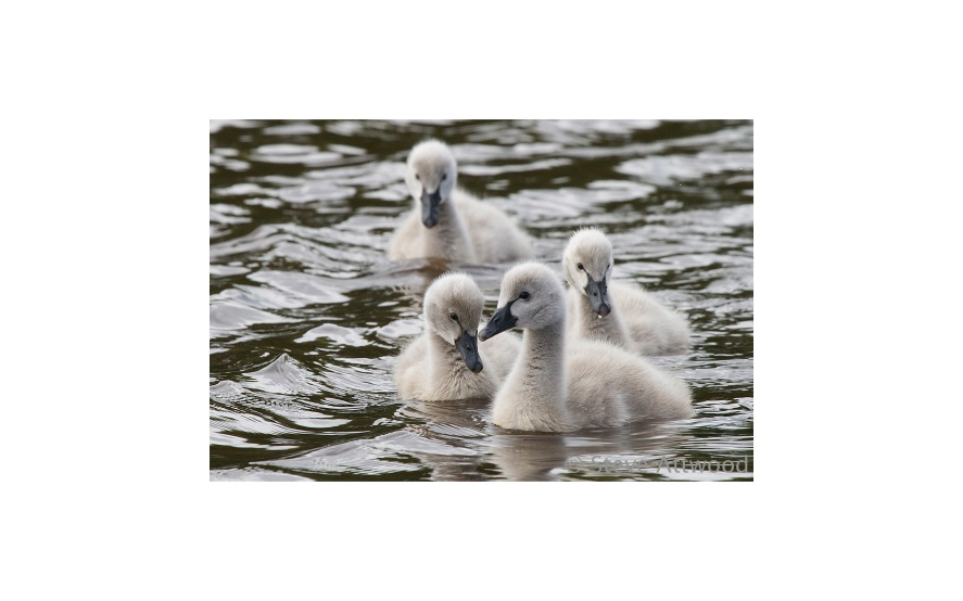 black swan cygnets can be seen at The Groynes at almost any time of year